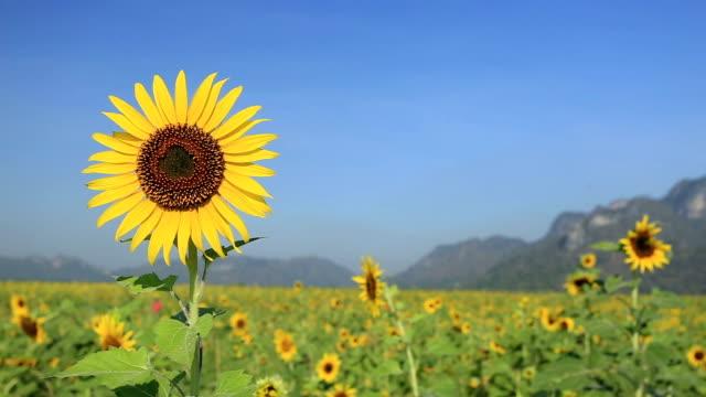 Sunflower the blue sky