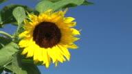 HD: Sunflower