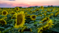 MS DS Sunflower