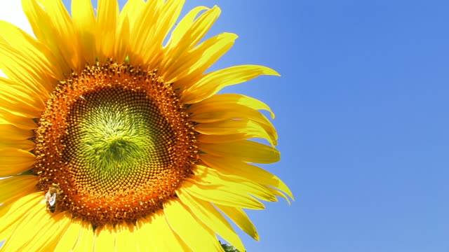 Sunflower with a bee - close up