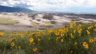 Sunflowers and sand dunes tracking shot
