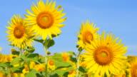 Sonnenblumen im Frühling Felder an