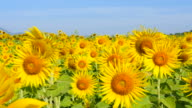 Sunflowers in the Fields at Spring Season