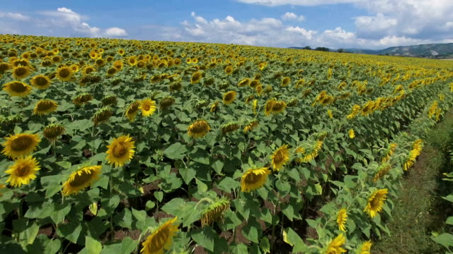 Sunflowers on a field - Aerial shot