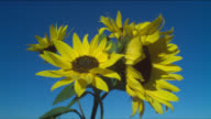 Sunflowers sway in a gentle breeze on a clear day.