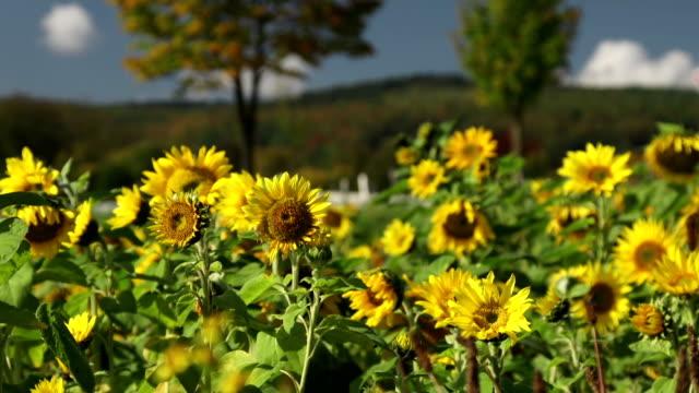 CRANE UP: Sunflowers
