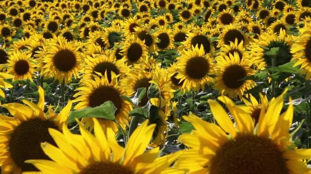 Sunflowers (hellianthus annus)