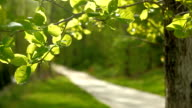 Sunlight bathed transparent green tree leaves and path