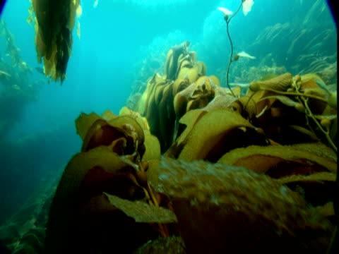 Sunlight dapples waving banners of seaweed