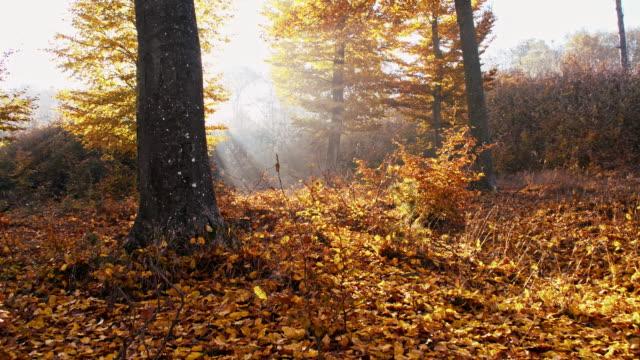 SLO MO Sunlight illuminating autumn forest