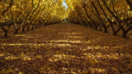 WS T/L Sunlight moving through apricot trees in orchard / Central Otago, New Zealand