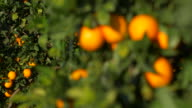 sunlight on ripe oranges and leaves