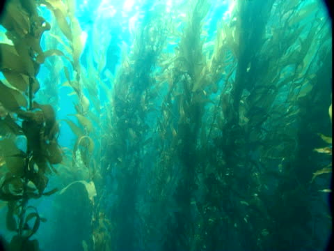 Sunlight shimmers through a dense seaweed forest.