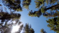 Sunlight shining through the pine forest