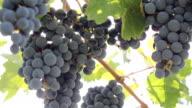 sunlight through the grapes