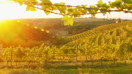 HD DOLLY: Sunlit Vineyard