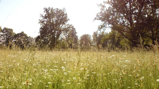SLO MO Sunny blossoming summer meadow with high grass