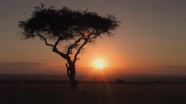 MS, Sunrise above savanna, silhouette of lone acacia tree in foreground, Masai Mara, Kenya