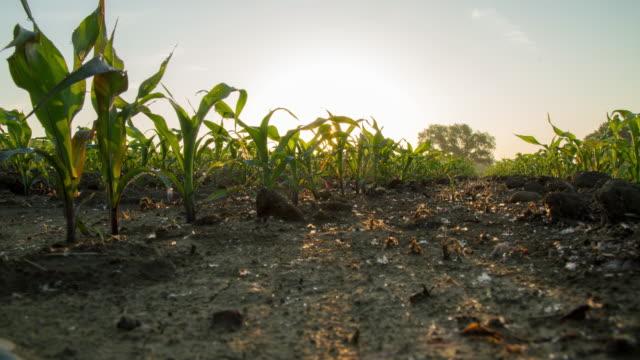 T/L Sonnenaufgang über dem Gebiet der jungen Mais Pflanzen