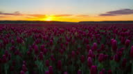 T/L Sunrise over the field of crimson clover