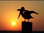 Sunrise Pelican 4b