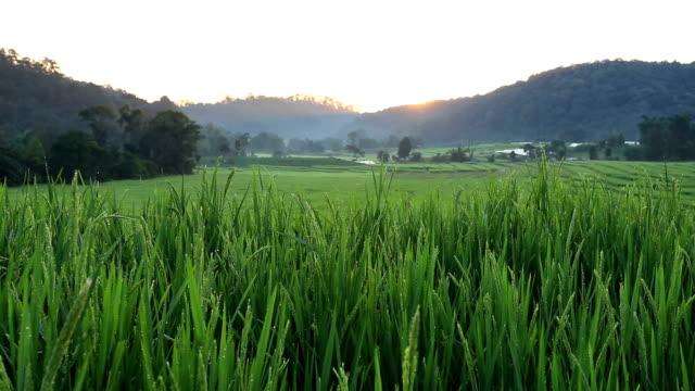 sunrise scene, terrace rice fields