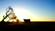 sunset and silhouette cow field
