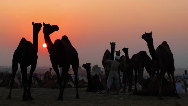 Sunset at the Pushkar Camel fair with an owner taking care of his camels in silhouette