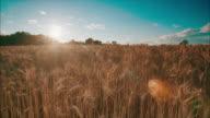Sonnenuntergang über einem wheat field