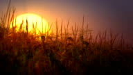 Sunset over corn field (loopable)