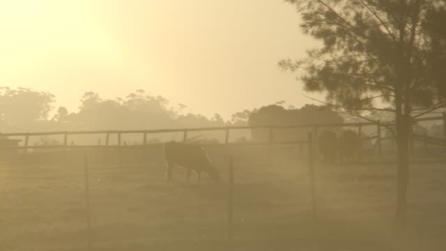 Sunset shot of field with silhouetted cows grazing with sun flare/ Western Cape/ South Africa