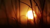 Sunset through tall grass