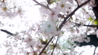 Sunshine through Cherry Blossom