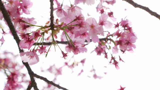 DS:Sunshine through cherry blossoms