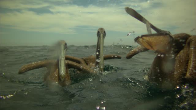 Super SLO MO MS Brown Pelican swallows fish very close to camera