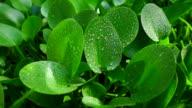 Super slow motion , 500 FPS : water splash on green leaf