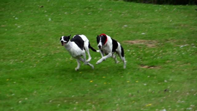 http://media.gettyimages.com/videos/super-slow-motion-hd-dogs-racing-eachother-video-id473268557?s=640x640