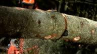 - Super Zeitlupe, HD: Buckeln Bäume wurden gefällt Tree
