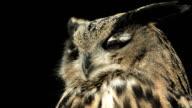 HD Super Slow-motion: Primo piano di un Gufo cornuto