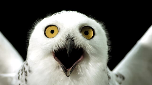 HD Super Slow-Mo: Close-Up Of A Snowy Owl