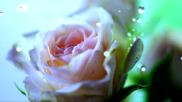 HD Super Slow-Mo: Drops Falling On A Rose