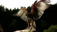 HD Super Slow-motion: Falconer con Falco di Harris
