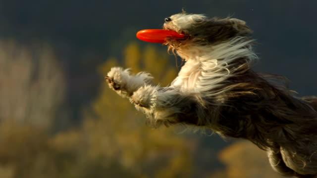 HD Super Slow-Mo: Purebred Dog Catching Plastic Disk