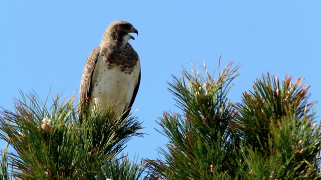 Swainsons hawk vocalizes Cherry Creek State Park Denver Colorado