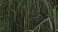 Swallow fledglings being fed
