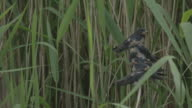 Swallow fledglings lined up in reed bed