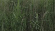 Swallow fledglings sitting in reeds wide shot