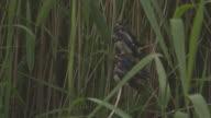 Swallow fledglings waiting in reeds