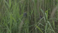 Swallow flying around reeds near fledglings