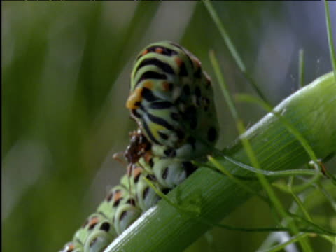 Swallowtail butterfly caterpillar everts defensive scent organ to repel ant UK
